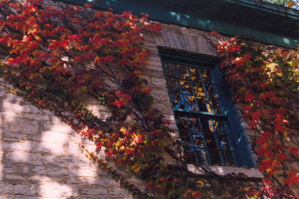Fall colors on ivy