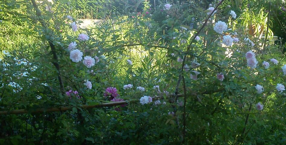 Juin, le mois de la rose