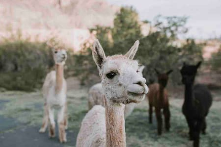 Zion Alpacas Country Casita