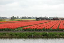 De tulpenvelden met op de achtergrond de Museumstoomtram Hoorn-Medemblik.