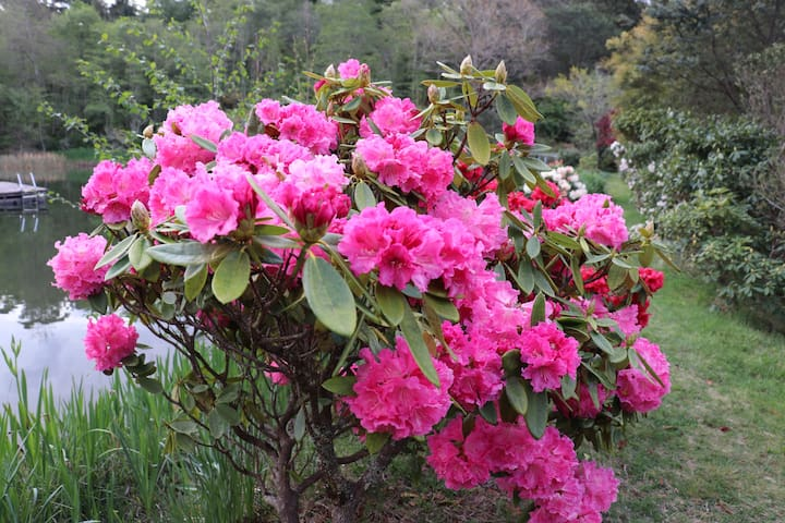 Dantosa's rhododendrons are spectacular in spring.