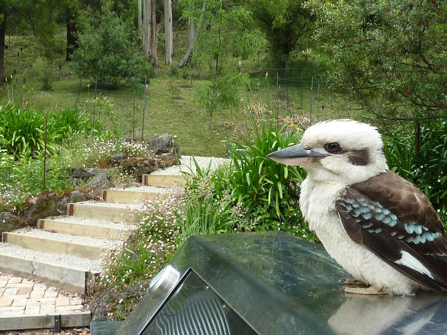 the Allenvale House - Friendly Kookaburra sitting on the BBQ
