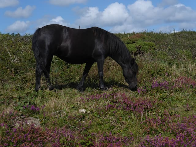 Wild pony on Logan Rock.