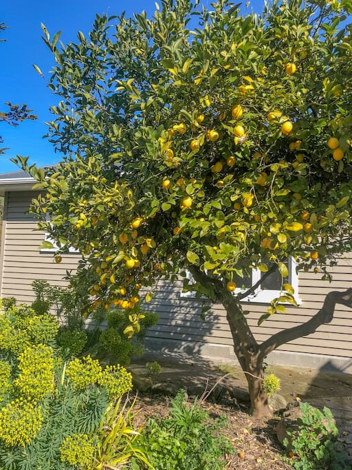 Great lemon tree for your drinks