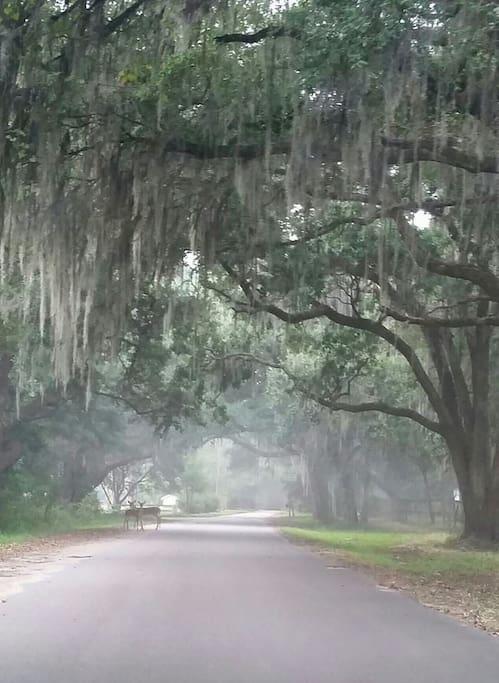 Avenue of ancient oaks leading down Abbapoola Road to Del Mar