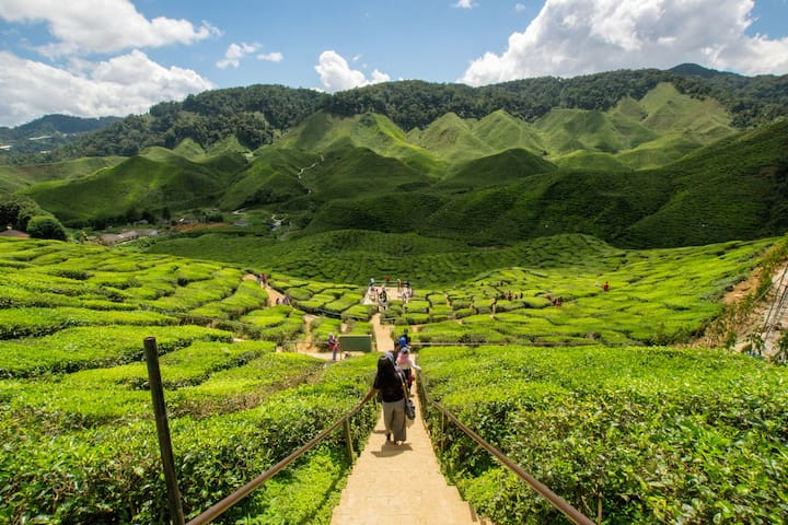 Cameron Valley Ringlet Tea plantations are just 14kms away from our place and on the way up from Tapah.