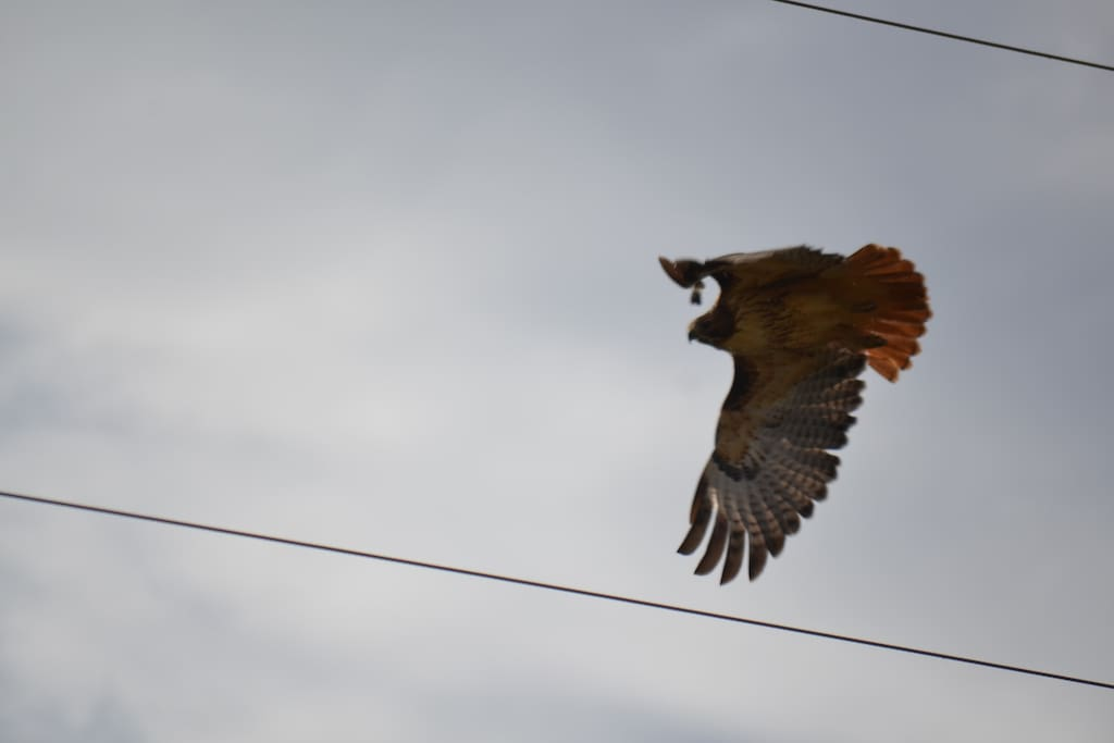 One of our nesting hawks