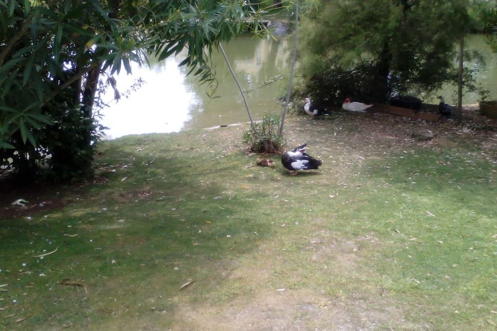 Pato no Parque Central