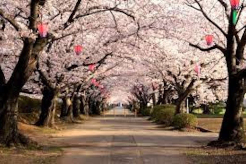 造幣局 桜の通り抜け/Cerry Blossaam Viewing at Japan Mint 桜の見頃 4月の中旬1週間/These flowers are best viewed middle April.