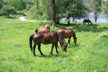 chevaux à côté du gîte