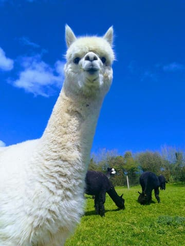 Alpacas come in 22 different colours