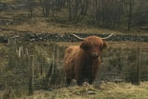 As you drive into Carrick for may spot some Highland Cows on your way