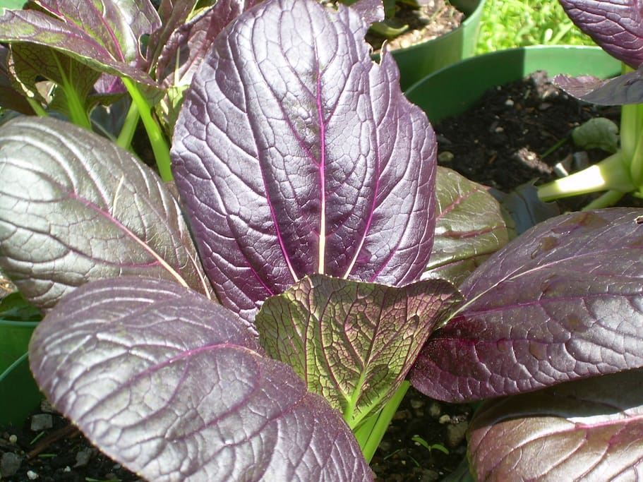 purple bok choi, our first greens (or purples?) to harvest this spring