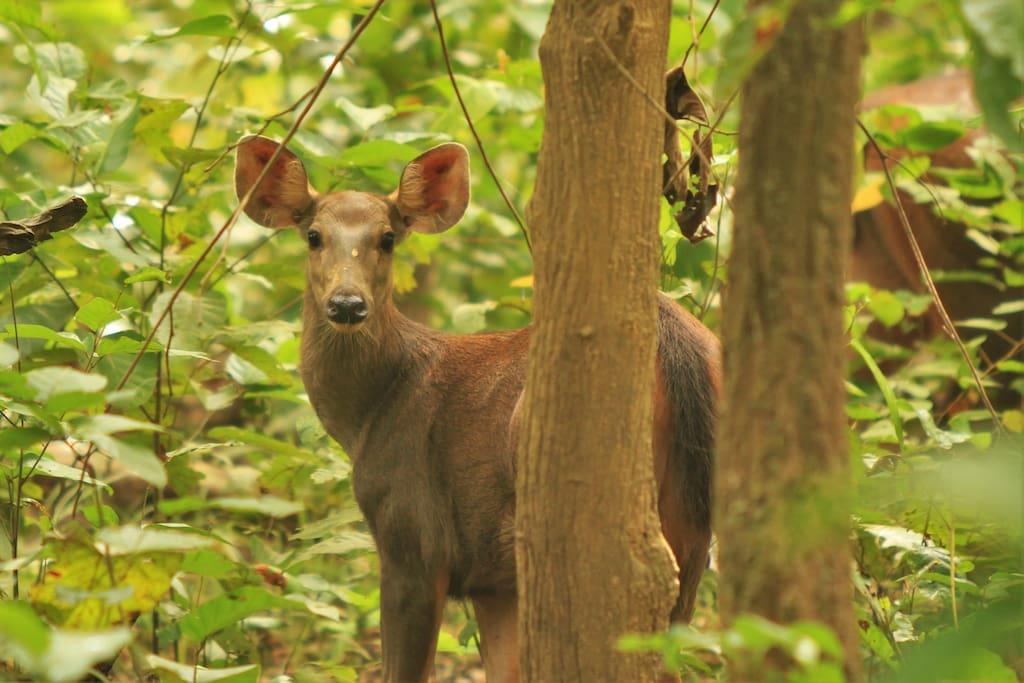 Sh-amber Deer