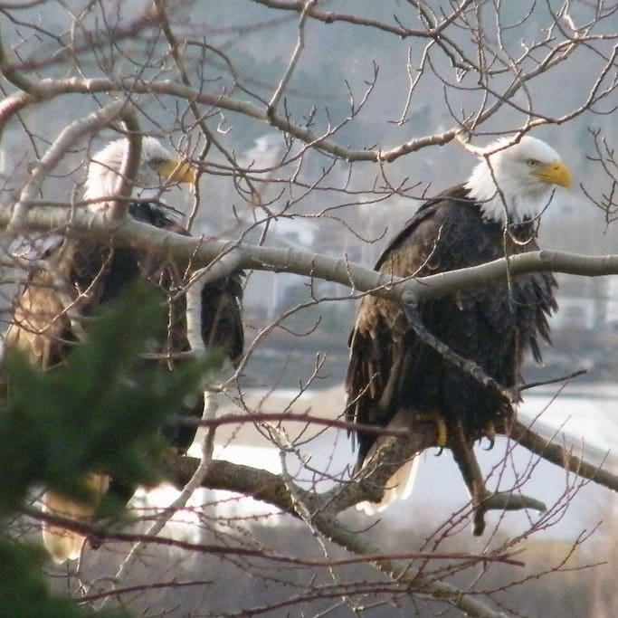Our Resident Eagles