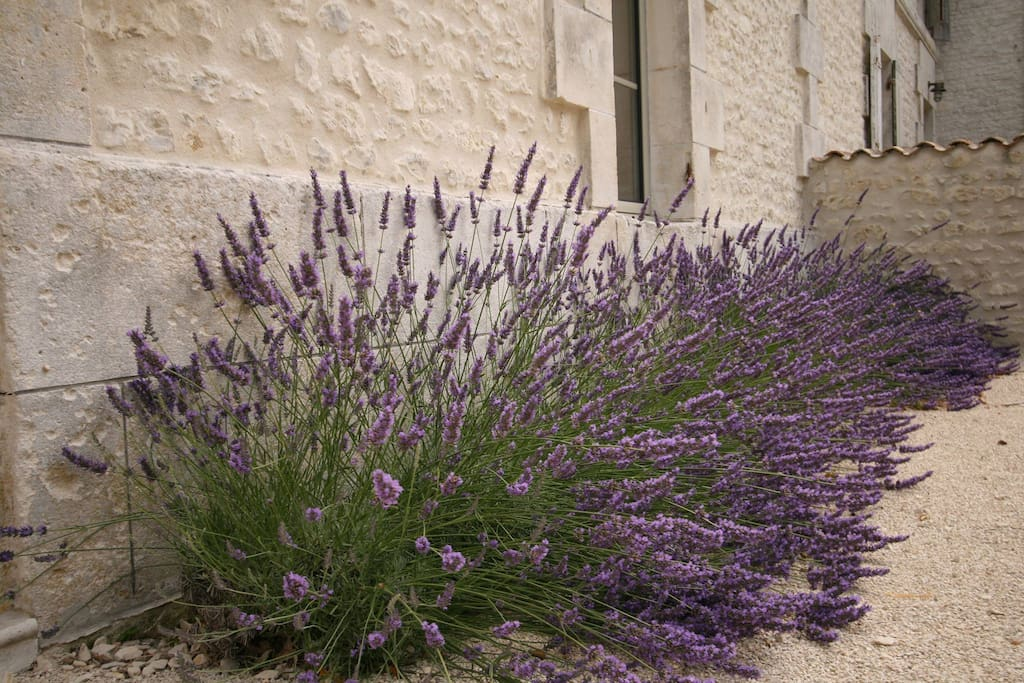 Lavender in full bloom at La Cannonerie