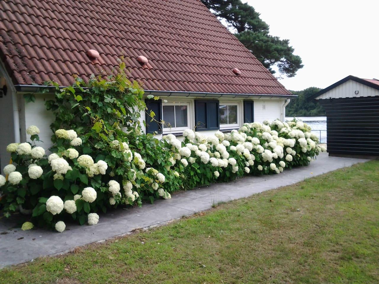 Blütenmeer am Haus