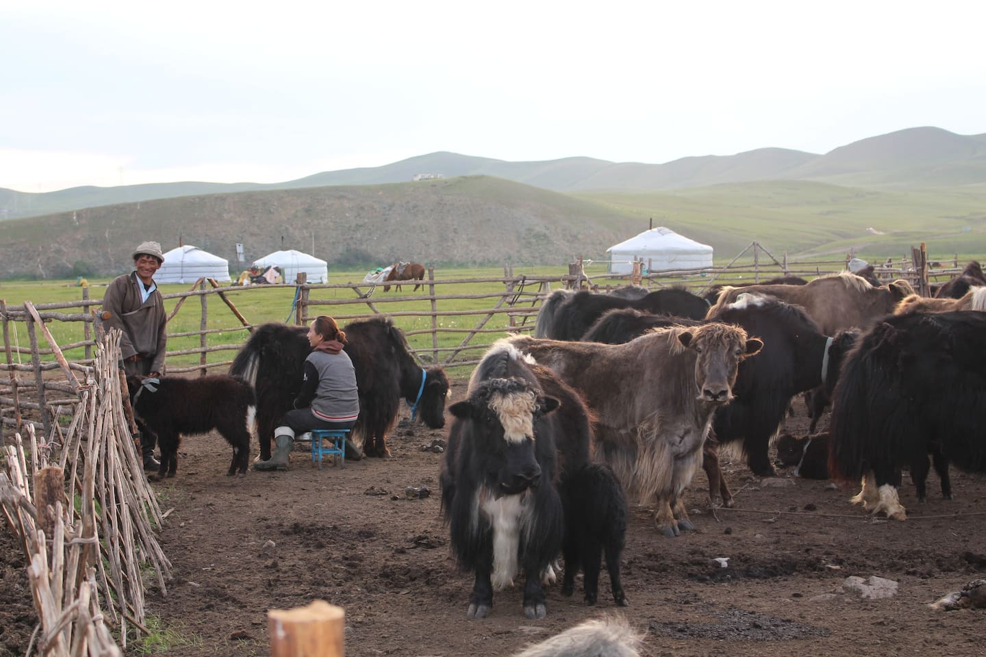 You opportunity to participate in daily activity Mongolian nomadic family.