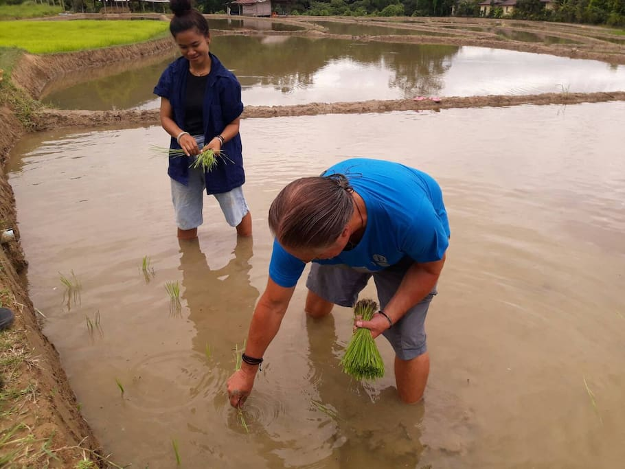 "ONCE a year only to experience Rice Planting in PAI ""Dam Naa"""