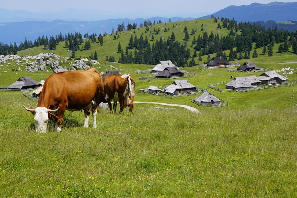 Cows spent three months of the year at Velika planina, starting in the beginning of June.