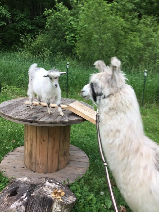 Charlie the Llama saying hi to Bloom the Mini Silky Fainting Goat