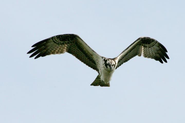 Osprey, Mashomack Preserve