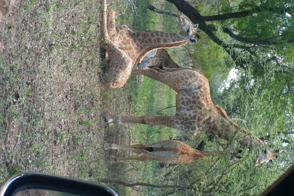 Giraffe(family)