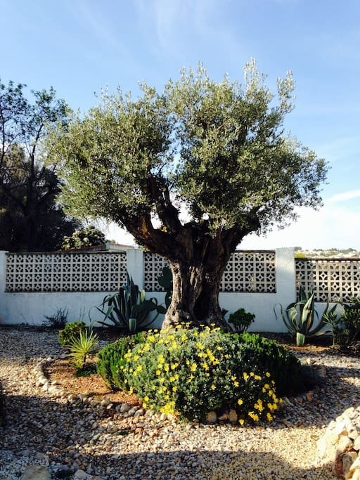 Beautiful large garden with 8 ancient olive trees.