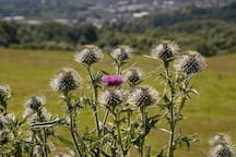 A thistle with panoramic background view