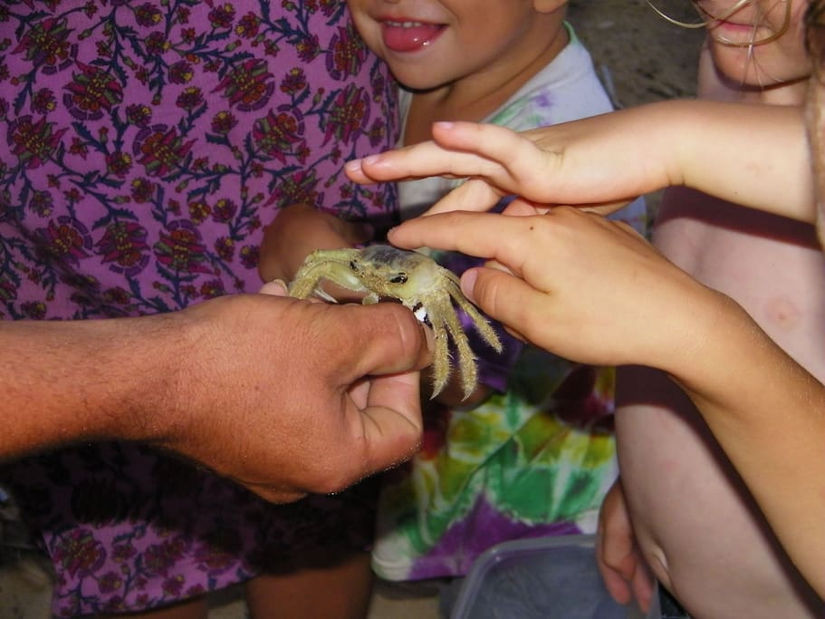 These small crabs come out each morning into the ocean and return at night.  Kids love watching this migration.