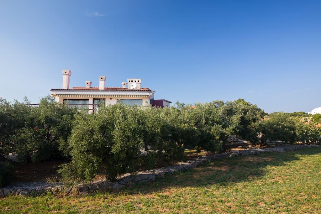 huge olive tree garden