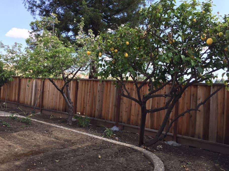 backyard with fresh lemons