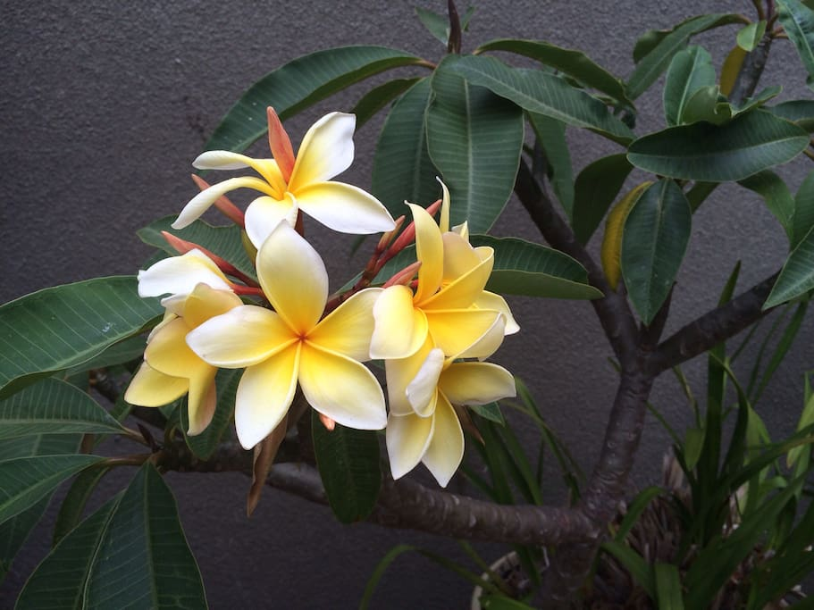 Plumeria on the patio adjacent to the indoor campground.