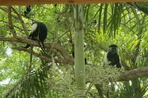 Colobus monkeys in the trees outside the tent