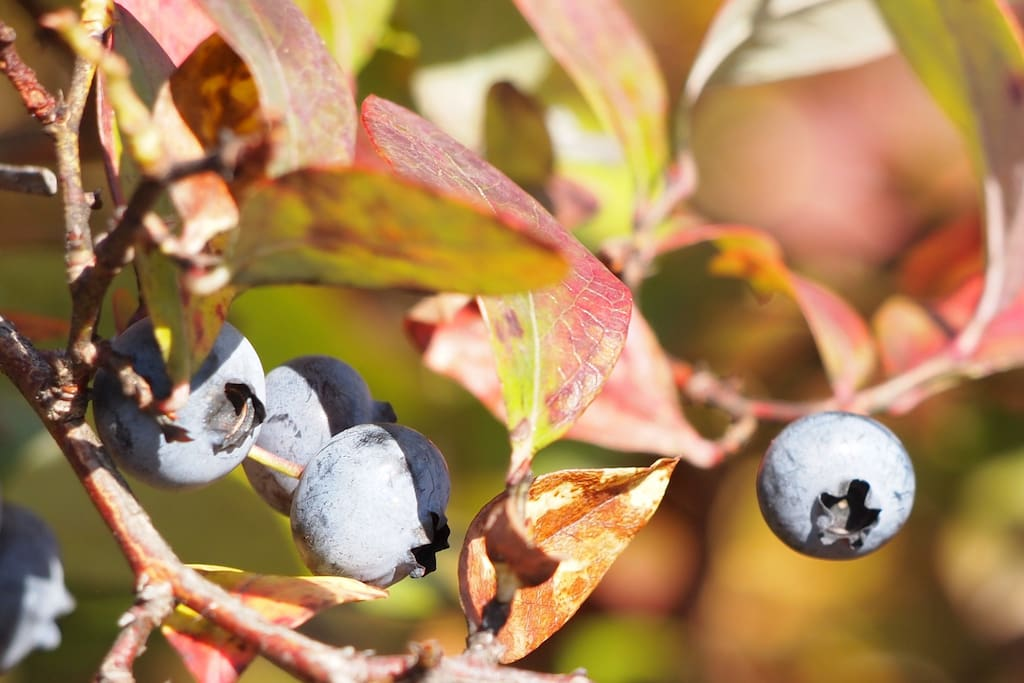 Fresh blueberries from our bushes