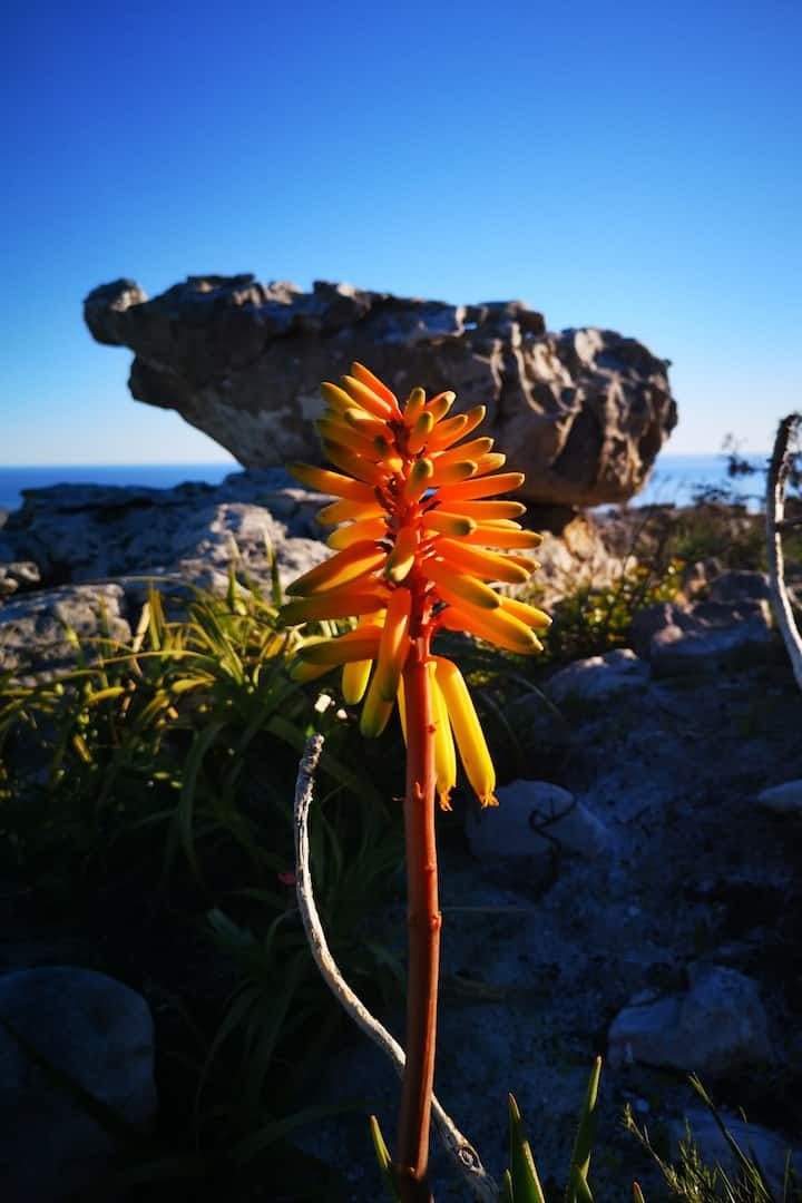 Endemic Aloe above Cape Point