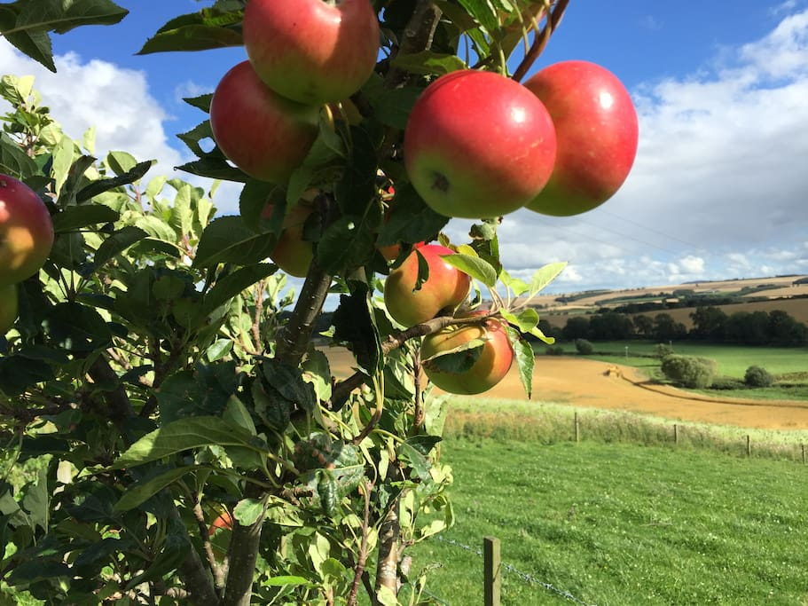 Harvest time on our organic farm...apples and oats!