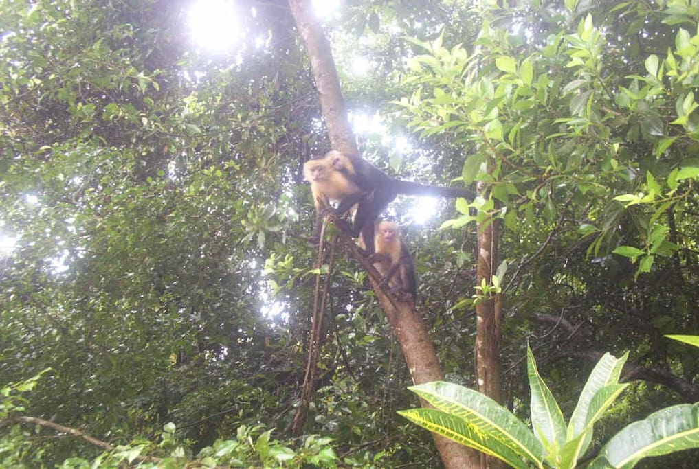 Mono cariblanca