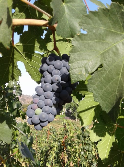 Closeup of purple grapes on the vine.