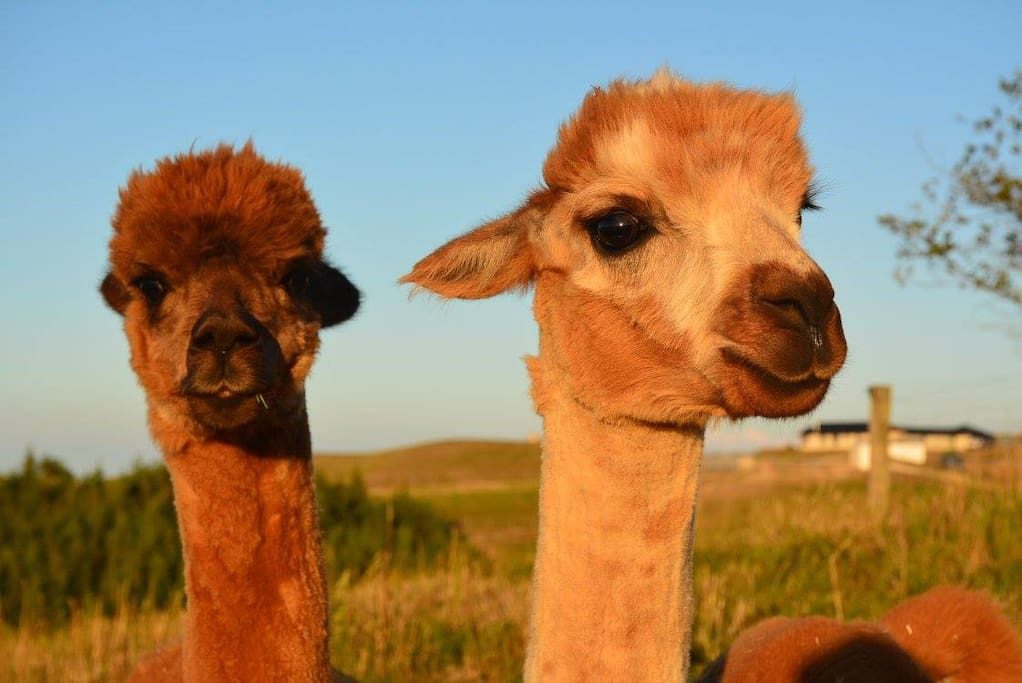 Meet our friendly alpacas!