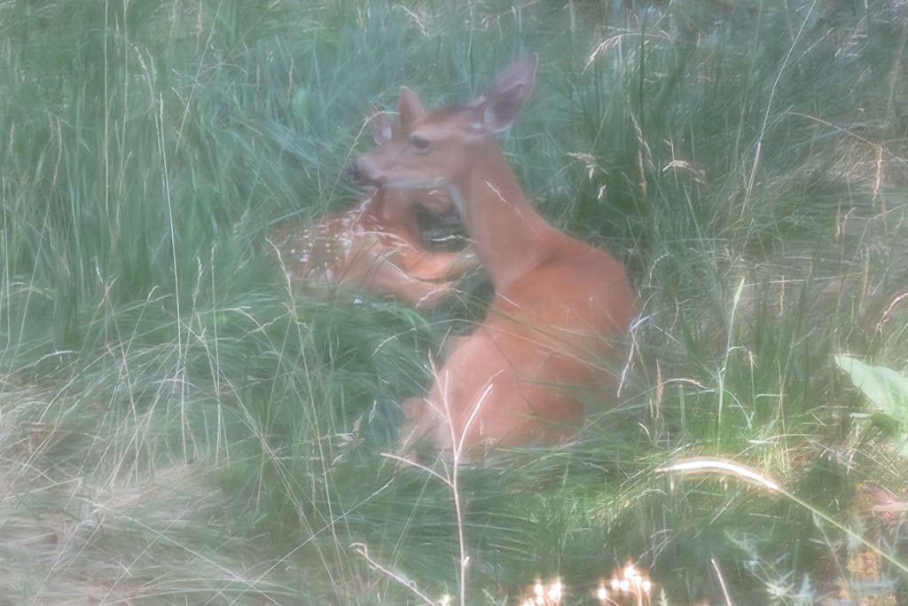 """Welcome to """"Deer's Run"""" • This is """"Jane Doe"""" and 1 of her twins. She """"lives"""" on the lower level of the property with her two babies. (Picture: Sept 2017)"""