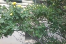 Wild Rose Bush in Bloom