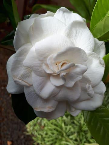 Fragrant Gardenia shrub by main lanai