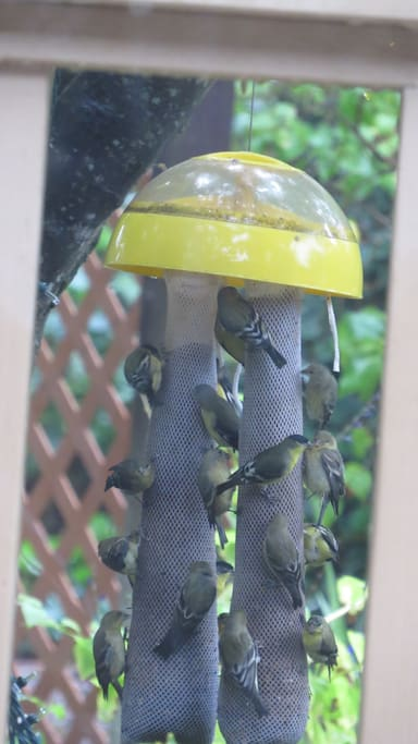 gold finches/off the deck