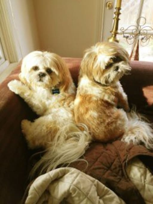 My Shih Tzus, Winston (L) and Bugsby