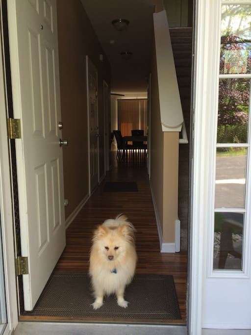 Koko, an American Eskimo, loves greeting friendly guests.
