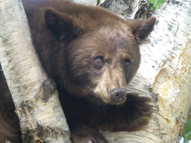 Cinnamon Black Bear in our backyard September 2014