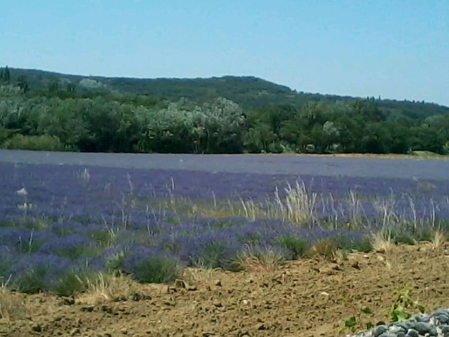 Lavender in bloom in June/ July
