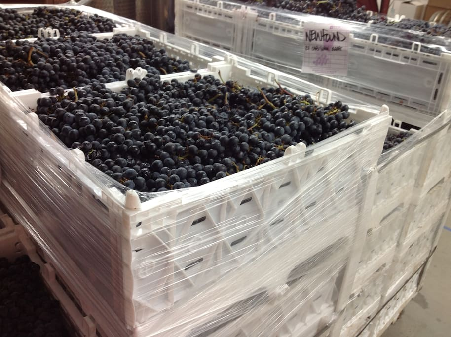 Grapes ready to be crushed & destemmed