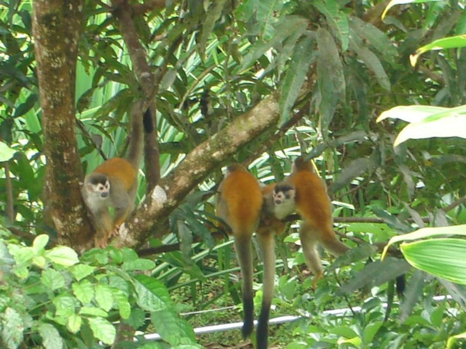 Squirrel Monkeys are visiting us nearly every day !